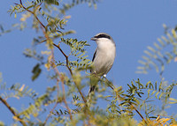 Loggerhead Shrike Dec 15 2016 Gilbert Az  5096