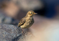 American Pipit Sept 3 2014 Harrison  1999