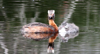 Horned Grebe and chick