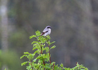 Loggerhead Shrike Spr 4 2015 Hope Airport  1052