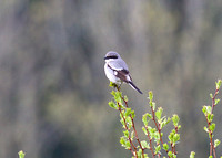 Loggerhead Shrike apr 4 2015 Hope Airport  1052