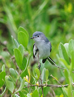 Blue-gray Gnatcatcher Mar 25 2014 Sheepshead padre  509
