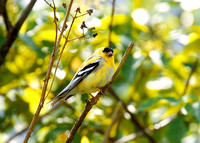American Goldfinch May1 2015 Mission  1245