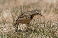 American Pipit May 4 2015 Manning  1276