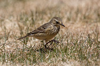 American Pipit May 4 2015 Manning  1277