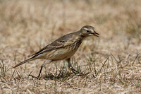 American Pipit May 4 2015 Manning  1274