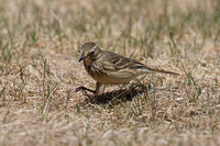 American Pipit May 4 2015 Manning  1272