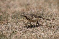 American Pipit May 4 2015 Manning  1270