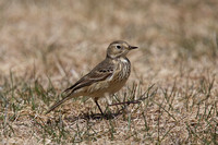 American Pipit May 4 2015 Manning  1269