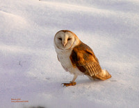Barn-Owl-on-snow-Dec.206