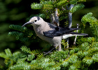 Clark's Nutcracker June 15 2015 Manning  1539