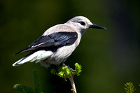 Clark's Nutcracker June 15 2015 Manning  1542
