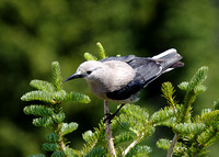 Clark's Nutcracker June 15 2015 Manning  1543