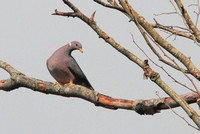 Band-tailed Pigeon 2