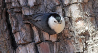 White-breasted Nuthatch 4