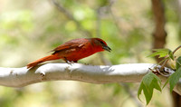 Hepatic Tanager 2