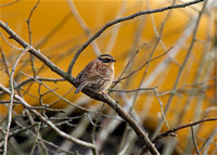 Siberian Accentor Jan 20 2016 160 and Colebrook Surreyy  2381