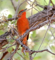 Hepatic Tanager 3