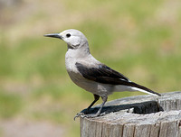 Clark's Nutcracker June 6 2014 Manning  1368