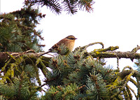 Siberian Accentor Jan 20 2016 160 and Colebrook Surreyy  2377