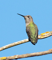 Anna's Hummingbird Aug 8 2013 Wilband