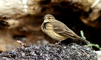 American Pipit 1 Sept 20 2013 Bbay  016