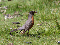 American Robin June 22 2016 fountain Lake Lillooet  4016