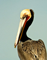 Brown-Pelican-Feb09-Salton-