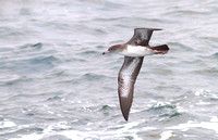 Pink-footed Shearwater  2 medium 2013 sept 15 Uclulet