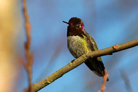 Anna's Hummingbird male 2 Jan 20 2014 Mill Lake  275