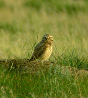 Burrowing-Owl-Brooks-May-20