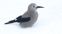 Clarks Nutcracker Dec 13 2017 Manning  5831