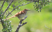 brown thrasher 2