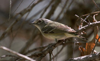 Cassins Vireo Apr 3 2018 Tubac AZ  5879