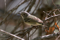 Cassins Vireo Apr 3 2018 Tubac AZ  5878