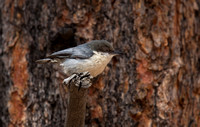 Pygmy Nuthatch Mar 21 2018 Bryce Canyon  5975
