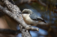 Pygmy Nuthatch Mar 21 2018 Bryce Canyon  5976
