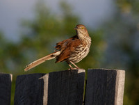 Brown Thrasher June 7 2018 Grasslands Park East Block  075