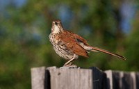 Brown Thrasher June 7 2018 Grasslands Park East Block  076