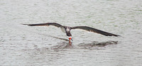Black Skimmer Apr 6 2014 Padre  639