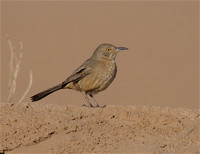 Bendire's Thrasher Dec 5 2016 Santa Cruz Flat Az  4970