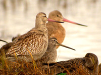 Bar-tailed-Godwit-w_Marbled