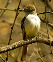 Ash-throated Flycatcher Mar.12:09 Patagonia AZ