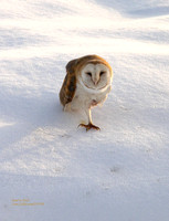 Barn-Owl-on-snow-De,206
