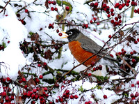 American Robin berries snow
