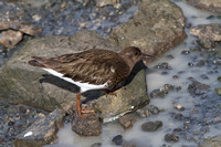 Black Black Turnstone Feb 10 2015 Bodego Ca.  886