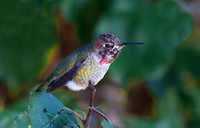 Anna's Hummingbird male Sept 20 2014 Home  2071