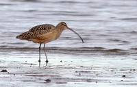 Long-billed Curlew 2