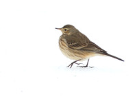 American Pipit 1