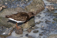 Black Black Turnstone Feb 10 2015 Bodego Ca.  885